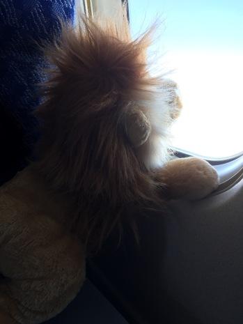 Lion watching Tulsa fall away through the clouds
